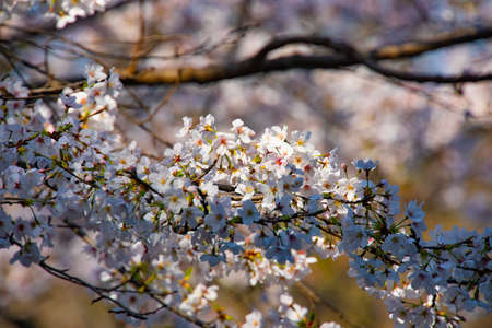 Cherry blossom at the park daytime