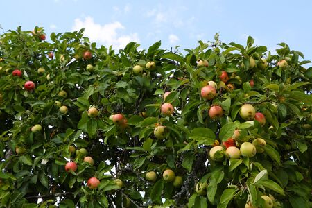 Close-up photo - useful tasty apples grow on a tree against a blue sky 写真素材