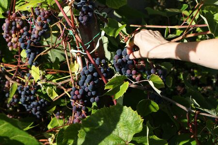 Woman picks ripe beautiful bunch of grapes Banque d'images - 134807227