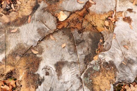 Beautiful old stump as a graphic gray background.