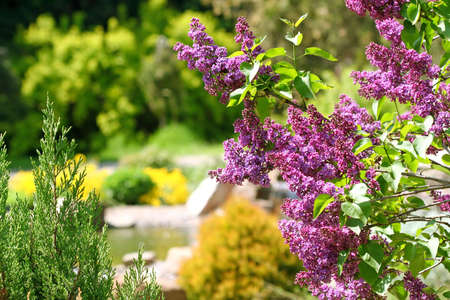 Lilac bush in botanical to a garden photo