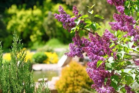 Lilac bush in botanical to a garden photo