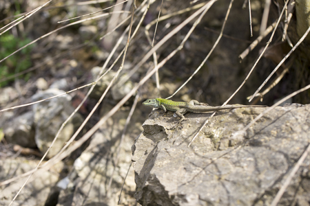 lacertidae: The Balkan green lizard walking on rock Lacerta trilineata. This species of lizard in the Lacertidae family