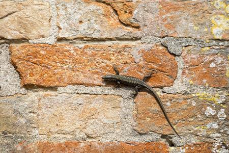 lagartija: Lagarto en una pared de ladrillo rojo. Los lagartos son un grupo generalizado de reptiles escamosos con aproximadamente m�s de 6.000 especies Foto de archivo