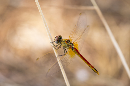 odonata: Closeup macro shot of beautiful dragonfly with amazing colors resting on a twig. A dragonfly is an insect belonging to the order Odonata, suborder Anisoptera Stock Photo