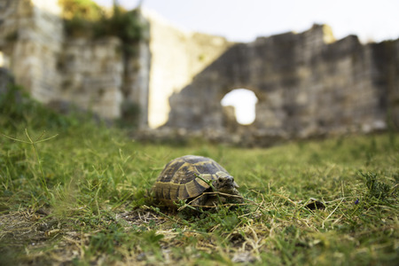 Box Turtle crawling on a green grass between ancient walls of Miletus city, selective focus shallow depth of field