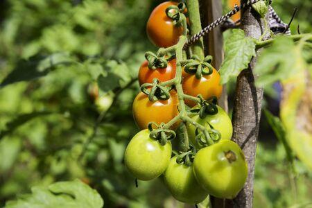 Bunch von grünen und roten organische fröhlichen Tomatenpflanze mit regen Tropfen auf einer Pflanze mit grünen Blättern in der Umgebung Standard-Bild - 46577429