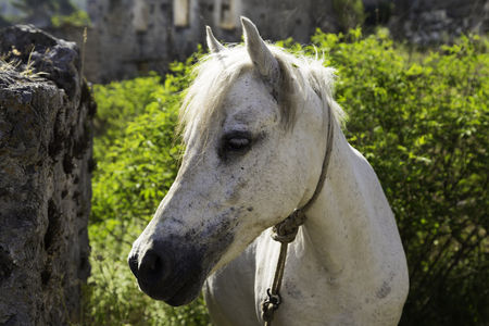 White horse looking at camera closeup in a ghost town village Kayakoy ruins near Fethiye in Turkey Standard-Bild