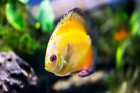 coral colored: Yellow fish in tank.