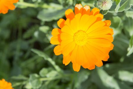 overhand: The Flower of the orange colour on background green sheet. The Type overhand, close-up. Stock Photo