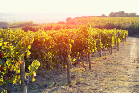 vineyard at sunset: Vineyards in autumn harvest Stock Photo