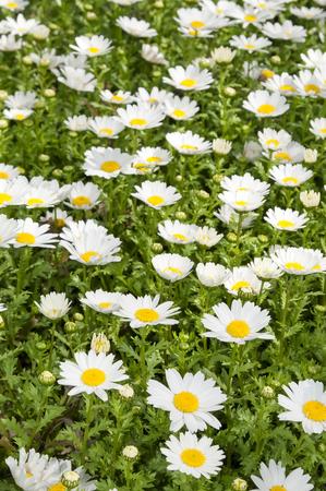 margarite: macro of beautiful white daisies flowers