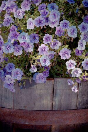 creative purple petunia in an old wooden flowerpot 2 photo