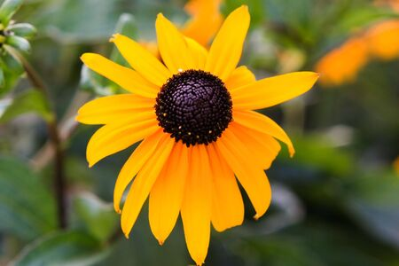 susan: Black eyed susan wild flowers in yellow and black 1 Stock Photo