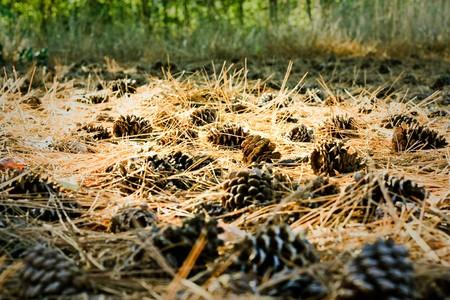 underlay: suelo de bosque pavimentado con conos de meollo 2  Foto de archivo