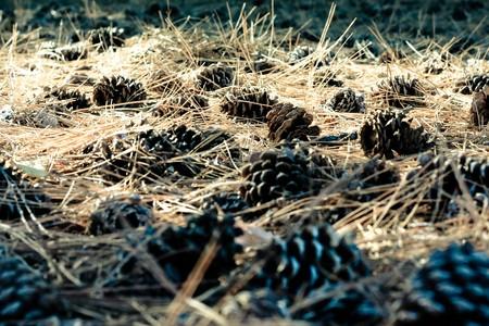 underlay: suelo de bosque pavimentado con conos de meollo 1  Foto de archivo