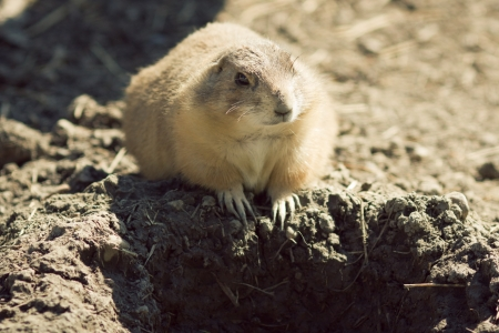 Gopher(Spermophilus dauricus) in the wild nature near the mink photo
