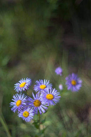 Beautiful summer season purple camomile flowers closeup, macro background photo