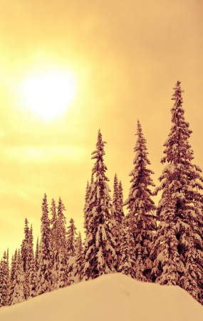 A cold scene in winter of snow covered spruce trees photo