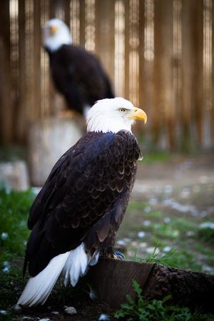 Bald eagle (Haliaeetus leucocephalus), the national emblem of the United States. photo