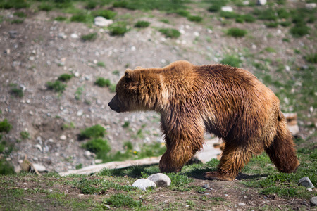 Full body profile of a big female Grizzly bear photo