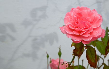 text free space: Pink rose after it has been raining a lot. Rain drops on the petals. Free space for a text. Stock Photo