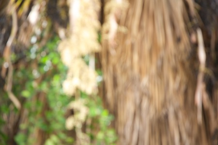 focus on background: Dried hanging palm tree branches and green leaves of climber plant. Out of focus. Background