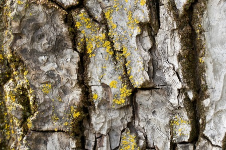 moos: Old walnut tree bark covered by yellow moos. Background.