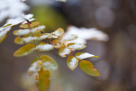 Briar leaves covered by snow. Closeup