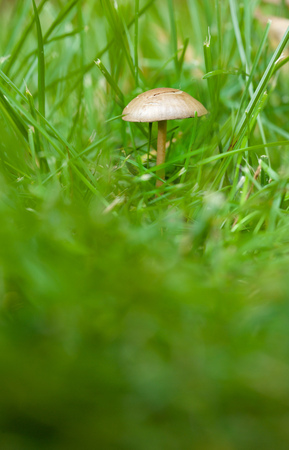 Small mushroom in the green grass. Closeup
