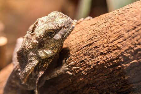 brown reptile climbing and sitting on the wooden tree branch at the day