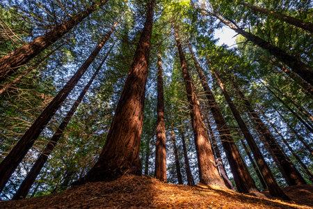 Redwoods of Monte Cabezón are, Protected Natural Area, Cabezón de la Sal, Cantabria, Spain