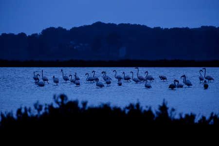 European flamingos (Phoenicopterus roseus)., Es Trenc-Salobrar Natural Park, Campos, Mallorca, balearic islands, spain