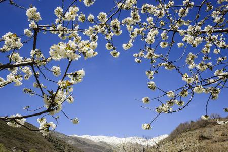 cerezos en flor -Prunus cerasus-, laderas de Piornal, valle del Jerte, Cáceres, Extremadura, Spain, europa Imagens
