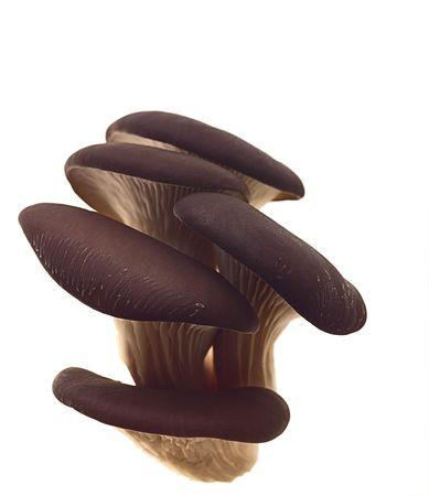 oyster mushroom on white background photo