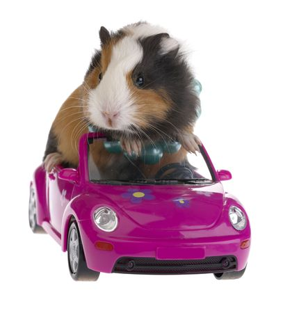 guinea: guinea pig sitting in a car on white background Stock Photo