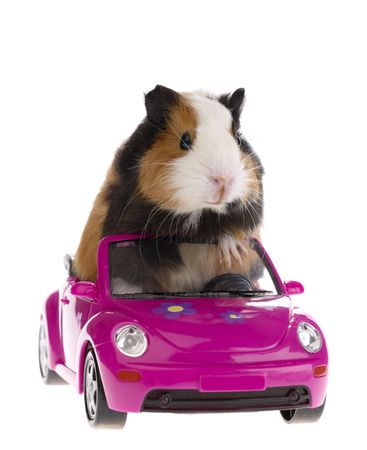 guinea pig sitting in a car on white background Stock Photo