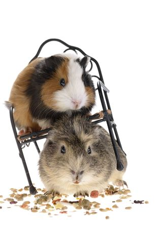 funny guinea pigs on white background Stock Photo - 4879387