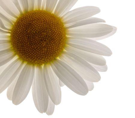chamomile flower on white background.  Stock Photo - 4950824