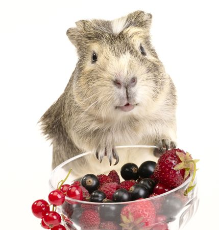 guinea pig and different berries in the bowl not cut out image