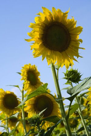 sunflowers under the sunlight with blue sky photo