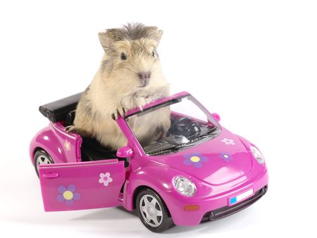 guinea pig: Cavia or guinea pig on the pink funny car. Is not isolated image