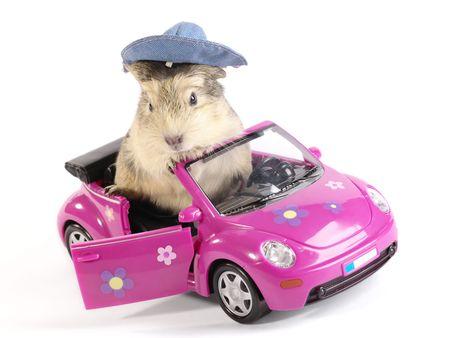 cavie: Shaggy driver. Guinea suino in rosa divertente auto. Non isolati immagine