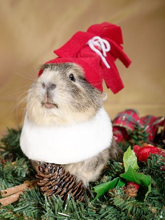 Funny Cavia on the christmas garland as Santa or dwarf Stock Photo
