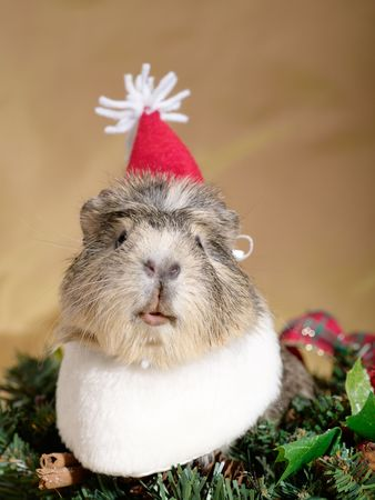 Funny Cavia on the christmas garland as Santa or dwarf photo