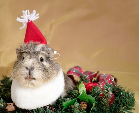 dwarf christmas: Funny Cavia on the christmas garland as Santa or dwarf Stock Photo