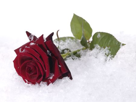snow flowers: rred rose on the snow with water droplets on petals