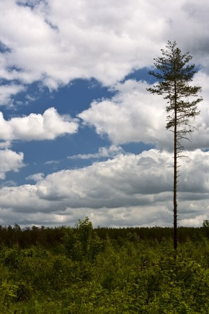 disafforestation. alone pine om the meadow under blue sky