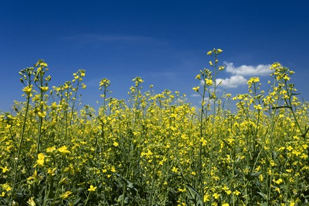 rapeoil: Oil seed rape field under the summer sky Stock Photo