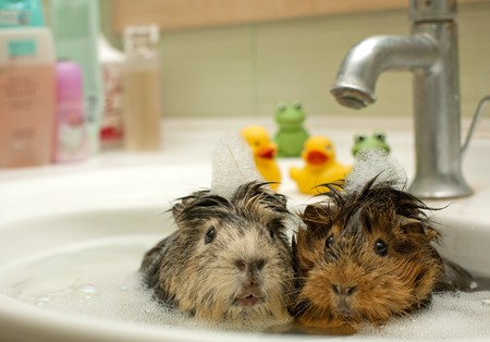 guinea pig: funny animals in the pool Stock Photo